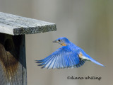 Bluebird Flying Home