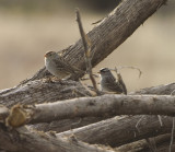 First year White Crowned Sparrows