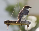 Flycatcher Galleries