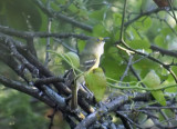 Warbler Vireo Kinglet Galleries