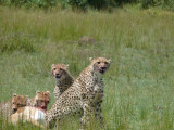 A cheetah mom takes her cubs to lunch...