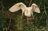 Albino Tri-colored Heron