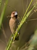 Scaly-Breasted Munia   Scientific name: Lonchura punctulata   Habitat: Ricefields, grasslands, gardens and scrub.   [20D + 500 f/4 L IS + Canon 1.4x TC, 475B tripod/3421 gimbal head]