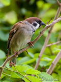 Eurasian Tree Sparrow   Scientific name - Passer montanus   Habitat - Common in virtually every inhabited island.   [20D + 500f/4 L IS + Canon 1.4x, on tripod]