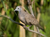 Zebra Dove 