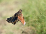 Lesser Coucal   Scientific name - Centropus bengalensis   Habitat - Grassland and open country.   [1DM2 + 100-400 L IS + Tamron 1.4x TC, 560 mm, wide open (f/8), hand held]
