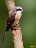 Brown Shrike   Scientific name - Lanius cristatus   Habitat - Common in all habitats at all elevations.   [20D + 500 f4 IS + Canon 1.4x TC, on tripod]