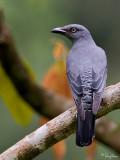 Bar-bellied Cuckoo-shrike (Female)   Scientific name - Coracina striata striata   Habitat - Forest and forest edge.   [20D + 500 f4 L IS + Canon 1.4x TC, on tripod]