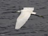 Little Egret   Scientific name: Egretta Garzetta   Habitat: Coastal marsh and tidal flats to ricefields.   [1DMII + 100-400 L IS, hand held]