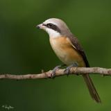 Brown Shrike   Scientific name - Lanius cristatus   Habitat - Common in all habitats at all elevations.   [20D + 500 f4 IS + Canon 1.4x TC, bean bag]