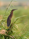 Black Bittern (female)
