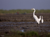 Great Egret   Scientific name - Egretta alba modesta   Habitat - Uncommon in a variety of wetlands from coastal marshes to ricefields.   [1DM2 + 100-400 L IS, hand held]
