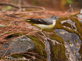 Grey Wagtail 