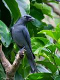 Bar-bellied Cuckoo-shrike (male)   Scientific name - Coracina striata striata   Habitat - Forest and forest edge.   [350D + Sigmonster]
