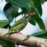 Coppersmith Barbet   Scientific name - Megalaima haemacephala   Habitat - Forest and edge, usually in the canopy.   [350D + Sigmonster]