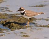 Little Ringed-Plover   Scientific name - Charadrius dubius   Habitat - Ricefields to river beds.   [20D + Sigmonster (Sigma 300-800 DG)]