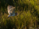 Grass Owl   Scientific name - Tyto capensis   Habitat - Grasslands and canefields.   [20D + 500 f4 L IS + Canon 1.4x TC, hand held]