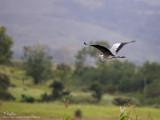 Grey Heron   Scientific name - Ardea cinerea   Habitat - Uncommon in wetlands.   [1DM2 + 100-400 IS, hand held]