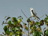Black-shouldered Kite   Scientific name - Elanus caeruleus   Habitat - Uncommon in drier grasslands and scrub   [350D + Sigmonster + Canon 2x TC, tripod/gimbal head, 80 m distance]