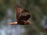 Eastern Marsh-Harrier (male)   Scientific name - Circus spilonotus   Habitat - Uncommon, primarily in wetlands and grasslands.   [1DM2 + Sigmonster, tripod/gimbal head]