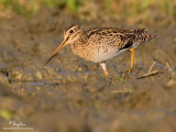Pintail Snipe (Provisional ID)