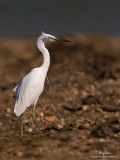 Chinese Egret (non-breeding plumage)