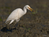 Cattle Egret   Scientific name: Bubulcus ibis   Habitat: Common in pastures, ricefields and marshes.  [20D + 500 f4 L IS + Canon 1.4x TC, tripod/gimbal head]