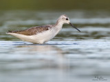 Marsh Sandpiper   Scientific name - Tringa stagnatilis   Habitat - Uncommon, in marshes, ricefields, and fishponds.  [20D + 500 f4 L IS + Canon 1.4x TC, tripod/gimbal head]
