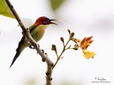 Lovely Sunbird