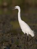 Little Egret   Scientific name: Egretta garzetta   Habitat: Coastal marsh and tidal flats to ricefields.   [20D + 500 f4 L IS + Canon 1.4x TC, tripod/gimbal head]