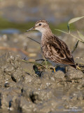 Long-toed Stint (Provisional ID)  Scientific name - Calidris subminuta  Habitat - Freshwater wetlands.   [20D + 500 f4 L IS + Canon 1.4x TC, tripod/gimbal head]