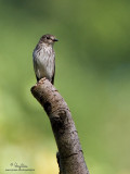 Grey-streaked Flycatcher   Scientific name - Muscicapa griseisticta   Habitat - Conspicuously perches in tops of trees in forest, edge and open areas.   [20D + 500 f4 L IS + Canon 1.4x TC, tripod/gimbal head]