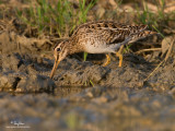 Pintail Snipe (Provisional ID)   Scientific name - Gallinago stenura   Habitat - Fresh water marshes and ricefields.   [20D + 500 f4 L IS + Canon 1.4x TC, tripod/gimbal head]