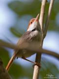 Rufous-tailed Tailorbird   Scientific name - Orthotomus sericeus   Habitat - Open habitats, scrub and mangroves.   [20D + 500 f4 L IS + Canon 1.4x TC, tripod/gimbal head]