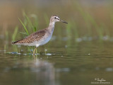 Wood Sandpiper   Scientific Name - Tringa glareola   Habitat - Exposed shores of marshes, ponds and in ricefields.   [20D + 500 f4 L IS + Canon 1.4x TC, tripod/gimbal head]