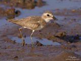 Greater Sand-Plover   Scientific Name - Charadrius leschenaultii   Habitat - Along the coast on exposed mud, sand and coral flats.   [1DM2 + 500 f4 L IS + Canon 1.4x TC, AI servo, tripod/gimbal head]