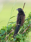 Lesser Coucal (immature)  Scientific name - Centropus bengalensis   Habitat - Grassland and open country.   [20D + 500 f4 IS + Canon 1.4x TC, bean bag]