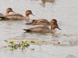 REJOINING THE FLOCK (Time - 12:06:16). The loving couple (closer to camera) join their gang and swim towards the middle of the pond, their duty to the next generation of endemic quackers accomplished.