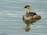 Little Grebe (immature)   Scientific name - Tachybaptus ruficollis   Habitat - Uncommon, in freshwater ponds or marshes. Dives when disturbed by intruders.   [350D + Sigmonster + Canon 2x TC, 1600 mm, manual focus/exposure, tripod/gimbal head]