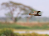 Philippine Duck 