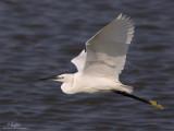Little Egret   Scientific name: Egretta garzetta   Habitat: Coastal marsh and tidal flats to ricefields.   [1DM2 + 500 f4 L IS + Canon 1.4x TC, tripod/gimbal head]