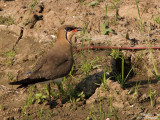 Oriental Pratincole  (in breeding plumage)   Scientific name - Glaerola maldivarum   Habitat - Drier open areas, dry ricefields, pastures and plowed fields.   [20D + 500 f4 L IS + stacked Canon/Tamron 1.4x TCs, 1000 mm, f/11, bean bag]