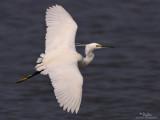 Little Egret  (Breeding plumage)   Scientific name: Egretta garzetta   Habitat: Coastal marsh and tidal flats to ricefields.   [1DM2 + 500 f4 L IS + Canon 1.4x TC, tripod/gimbal head]