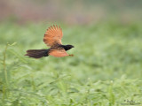 Lesser Coucal   Scientific name - Centropus bengalensis   Habitat - Grassland and open country.   [1DM2 + 500 f4 L IS + Canon 1.4x TC, 475B tripod/3421 gimbal head]
