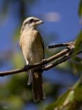 Brown Shrike   Scientific name - Lanius cristatus   Habitat - Common in all habitats at all elevations.   [1DM2 + 100-400 IS + Sigma 1.4x, hand held, processed 100 % crop]
