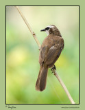 Yellow-vented Bulbul   Scientific name: Pycnonotus goiavier   Habitat: Common in gardens, urban areas and grasslands but not in mature forests.   [350D + Sigmonster (Sigma 300-800 DG)]
