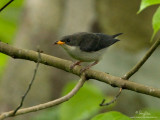 Red-keeled Flowerpecker  (a Philippine endemic, immature)   Scientific name - Dicaeum australe australe   Habitat - Canopy of forest, edge and flowering trees.   [20D + 500 f4 IS + Canon 1.4x TC, tripod/gimbal head]