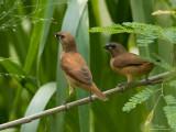 Scaly-Breasted Munia (Immature)   Scientific name: Lonchura punctulata   Habitat: Ricefields, grasslands, gardens and scrub.   [20D + 100-400 L IS, hand held]