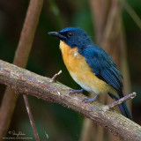 Mangrove Blue Flycatcher   Scientific name - Cyornis rufigastra blythi (endemic race)   Habitat - Disturbed forest, early second growth and in the lowlands.   [40D + 500 f4 L IS + Canon 1.4x TC, Manfrotto 475B tripod/3421 gimbal head]