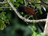 Philippine Coucal  (a Philippine endemic )   Scientific name - Centropus viridis   Habitat - Common from grasslands to forest up to 2000 m.    [40D + 500 f4 IS + Canon 1.4x TC, bean bag]